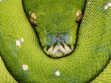 Green Tree Python Photographic Print by Martin Harvey