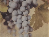 Cabernet Franc Photographic Print by Jennifer Kennard