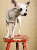 Chihuahua on a stool Photographic Print
