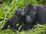 Baby Gorilla Kisses Silverback Male Fotografisk tryk af Paul Souders