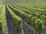 Rows of Grapevines in Vineyard Photographic Print by Guenter Rossenbach