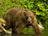 Brown Bear Fishing For Salmon Photographic Print by Blaine Harrington