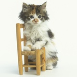 Ragdoll Kitten with Toy Chair Photographic Print by Pat Doyle