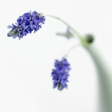 Lavender Flower Photographic Print