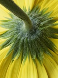 Close-Up of Back of Yellow Gerbera Daisy Photographic Print by Clive Nichols