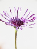 Purple African Daisy Photographic Print by David Roseburg