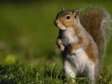 Alert Gray Squirrel Photographic Print by Andrew Parkinson
