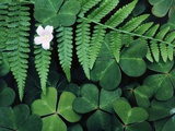 Redwood Sorrel and Bracken Fern Photographic Print by Scott Smith