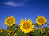 Sunflower Crop in Full Bloom Photographic Print by Mike Grandmaison