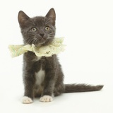 Kitten Wearing Lace Collar Photographic Print by Pat Doyle