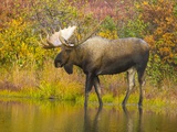 Moose Bull in Pond in Alaska Photographic Print by John Eastcott & Yva Momatiuk
