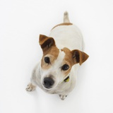 Jack Russell Terrier Looking up Photographic Print by Russell Glenister