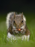 Gray Squirrel Holding Hazelnuts Photographic Print by Andrew Parkinson