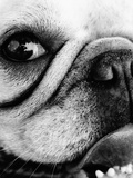 Portrait of a pug dog Photographic Print