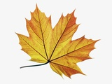 Maple Leaves Photographic Print by Frank Krahmer