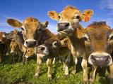 Young Calves in Pasture in New Zealand Fotografisk tryk af John Eastcott & Yva Momatiuk
