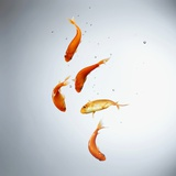 Five goldfish swimming with bubbles Photographic Print