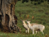 White Fallow Deer Stags Standing by Tree Photographic Print by Andrew Parkinson