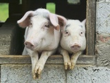 Two Pigs Leaning Out of Pen Photographic Print by Keren Su