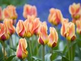 Tulipa 'Mary Ann' Fotografiskt tryck av Mark Bolton