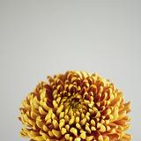 Orange Flower Fotodruck von David Vintiner