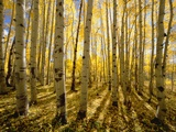Aspen Trees in Autumn Fotografie-Druck von John Eastcott & Yva Momatiuk
