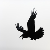 Common Raven Screaming Photographic Print by Arthur Morris