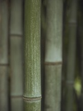 Bamboo Photographic Print by Jennifer Cheung