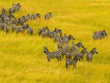 Zebra Herd in Masai Mara National Reserve Photographic Print by Blaine Harrington