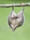 Baby Opossum Hanging from Branch Photographic Print by Frank Lukasseck