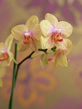 Orchid Photographic Print by Kate Mitchell