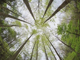 View Towards Sky in Forest Photographic Print by William Manning