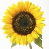 Sonnenblume Fotografie-Druck