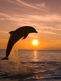 Craig Tuttle - Bottlenosed Dolphin Leaping at Sunset Fotografická reprodukce