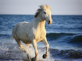 Wild Camargue Horse Running on Beach Photographic Print by Frank Lukasseck