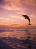 Jumping Bottlenose Dolphin Photographic Print by Stuart Westmorland