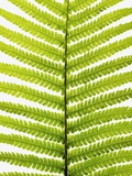 Fern Leaf Photographic Print by Frank Krahmer