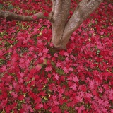Red Leaves on Ground Photographic Print by Micha Pawlitzki