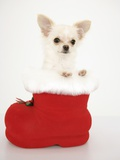 Chihuahua in Christmas Stocking Photographic Print