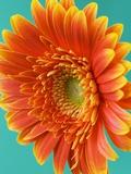 Orange Gerbera Daisy Fotografisk tryk af Clive Nichols