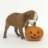 Brown and White Puppy with Halloween Pumpkin Photographic Print by Pat Doyle