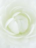 White Petals of Flower Fotografisk tryk af Clive Nichols
