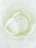 White Petals of Flower Photographic Print by Clive Nichols