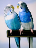 Pair of Parakeets Perching on Chair Back Photographic Print by Ted Horowitz