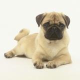 Pug Puppy Fotografisk tryk af Pat Doyle