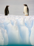 Gentoo Penguins Standing on Ice Floe Photographie par John Eastcott & Yva Momatiuk