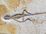 Lizard Fossil from Solnhofen Limestone Formation Photographic Print by Naturfoto Honal