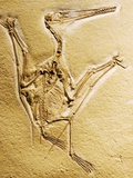 Cast of a Short-Tailed Pterosaur Photographic Print by Naturfoto Honal