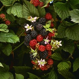 Partly Ripe Blackberries on the Bramble Photographic Print