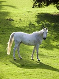 White Stallion in Grass Covered Field Photographic Print by Paul Seheult